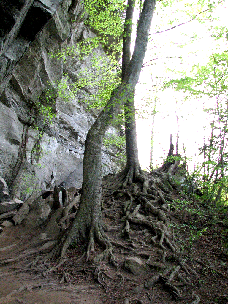 Image of trees growing beside the base of a rocky outcropping, with prominent roots.